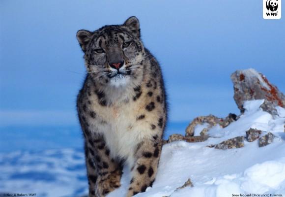 The Snow Leopard Trek